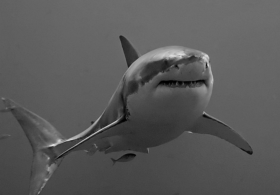ماذا تعرف عن أسماك القرش