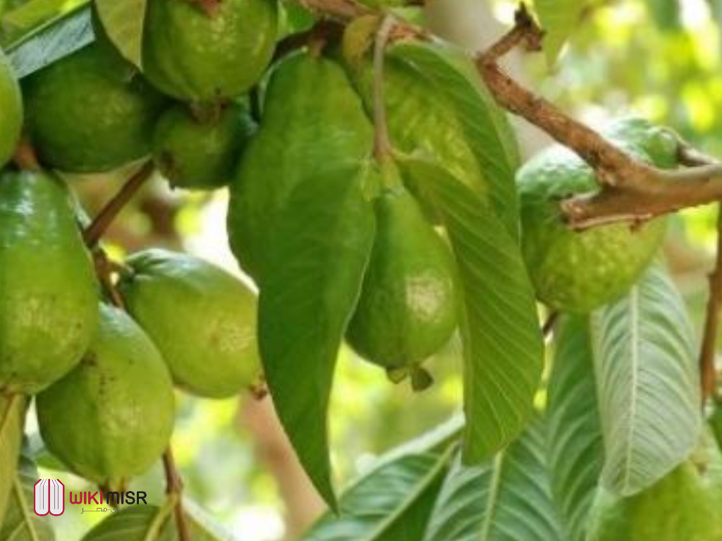 فوائد ورق الجوافة لجسم الإنسان