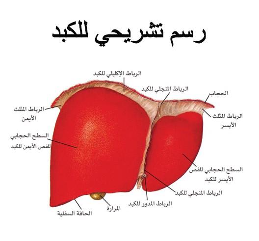 رسم تشريح لـ الكبد