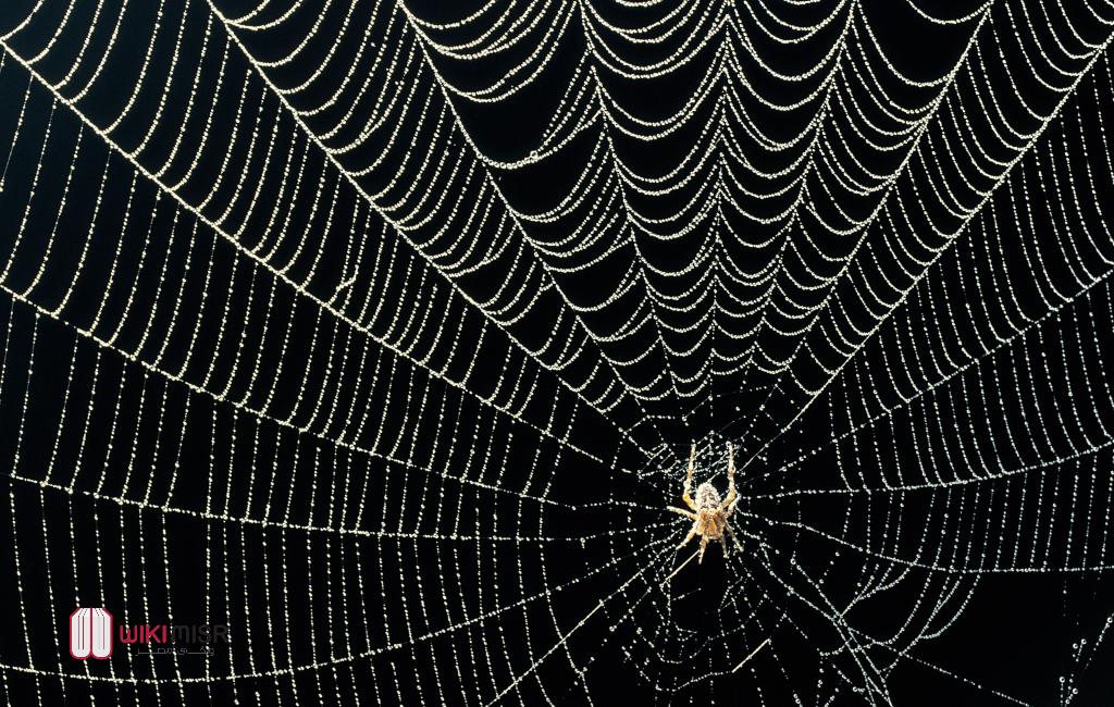 كيف ينتج العنكبوت الحرير وسرّ لزوجتها ولماذا لا يستخدمه الانسان تجاريًا