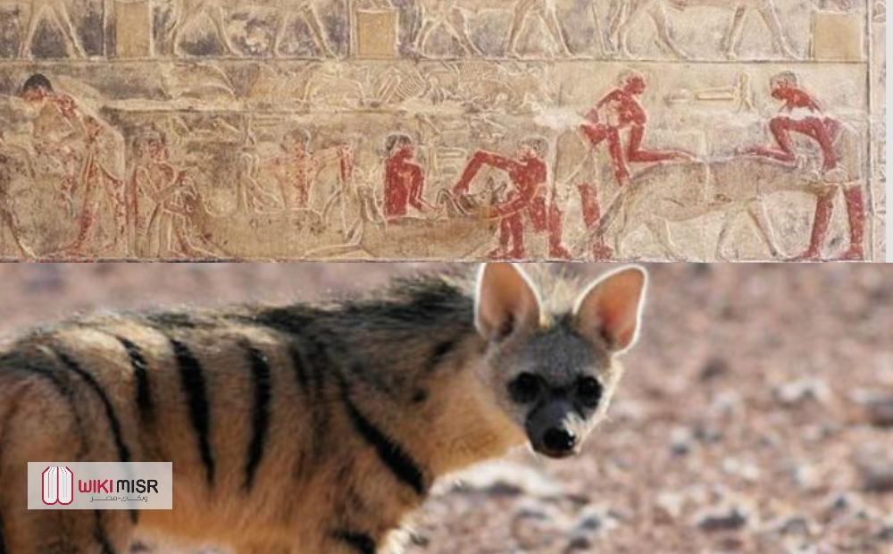 لماذا قام المصريون القدماء بـ «تزغيط الضباع»؟