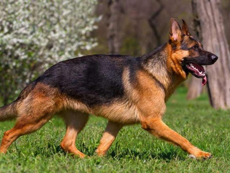 أنواع الكلاب وأفضل السلالات التي يمكن أن تربيتها في منزلك