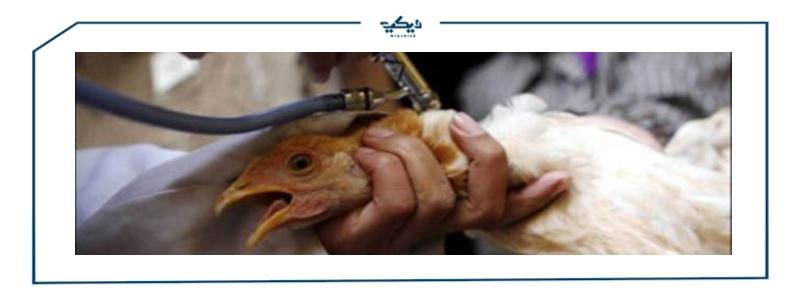 فيروس انفلونزا الطيور - صورة تعبيرية